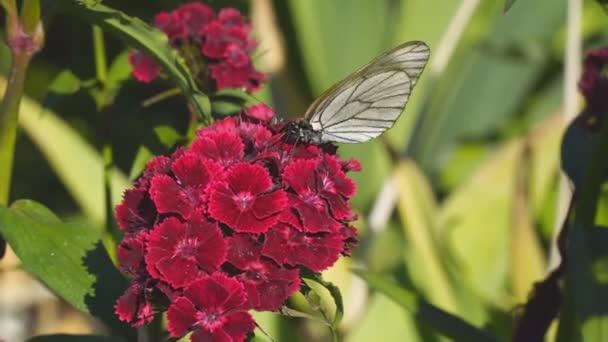 Aporia Crataegi auf rote Blume Schmetterling