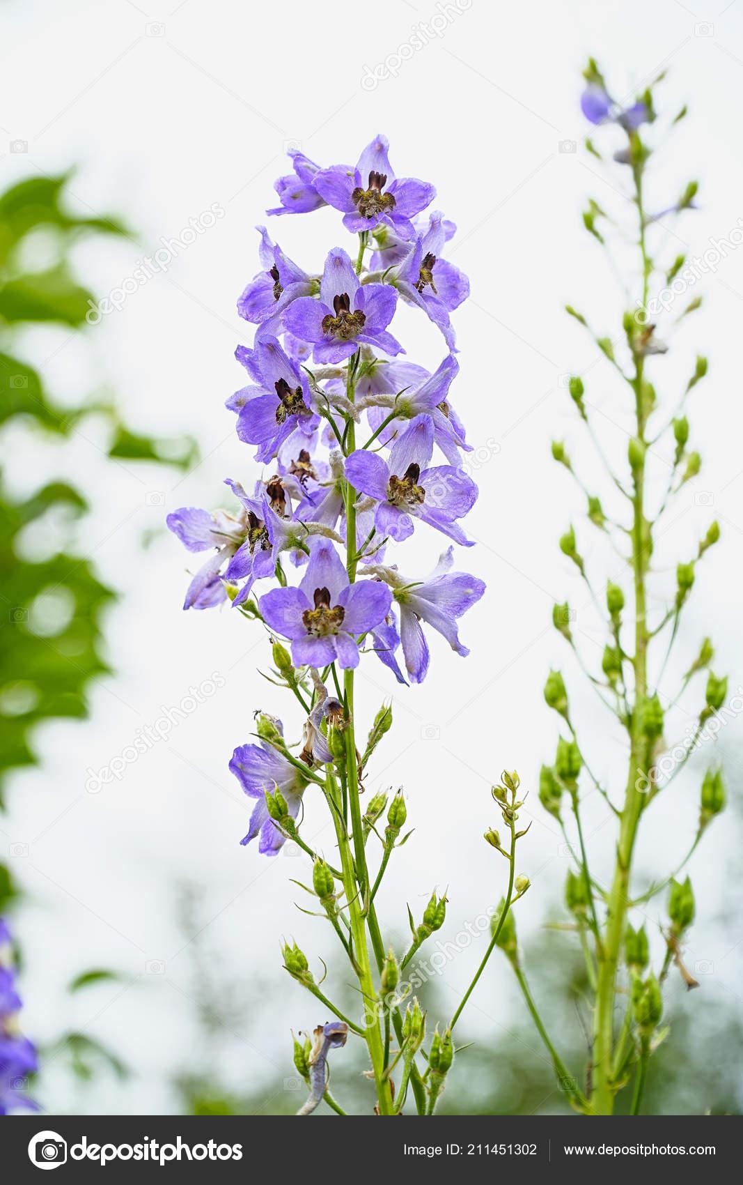Blue Flower Delphinium White Background Stock Photo Pro2audio