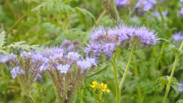 Purple flowers of Phacelia