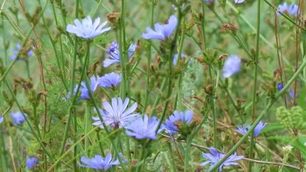 Modré květy na přírodní pozadí. Květiny z divokého cekanky endivie