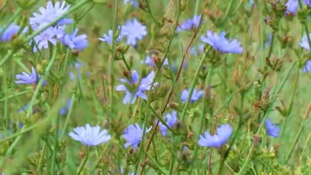 Blue flowers on natural background. Flowers of wild chicory endive