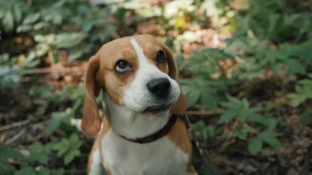 Funny pes Beagle zblízka portrétní detailní obličej šťastný, venčení službu hlídání