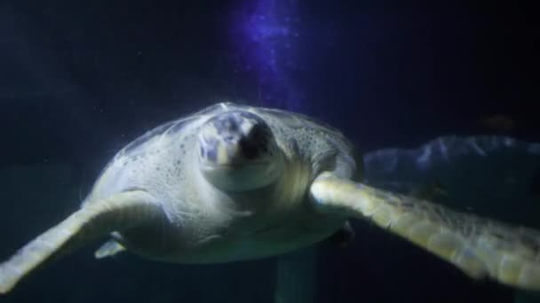 Close-up view of a Loggerhead sea turtle with reef fishes aquarium