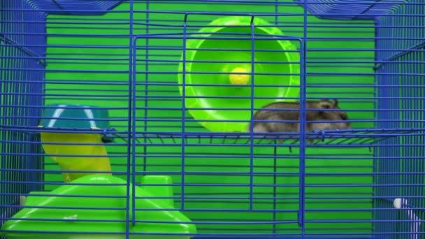 Ungarischer Hamster läuft im Käfig