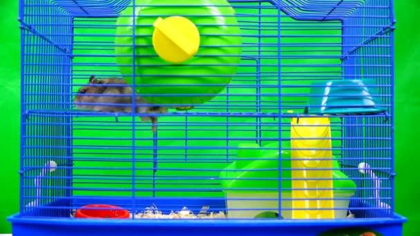 video z křečka