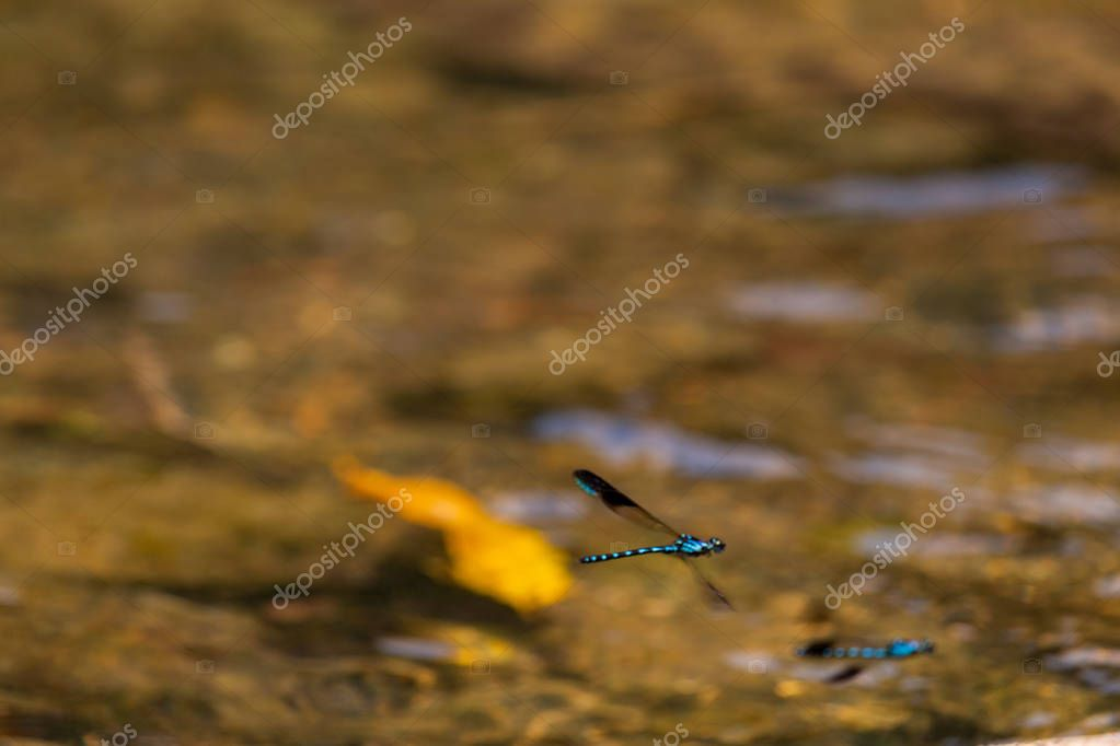 Fluorescent electric blues flies flying over a river in Laos