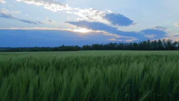 Zöld búza szárak fúj a szél. Természetes búzamező. Gazdag természet búzamező felhőkkel a napsütésben.