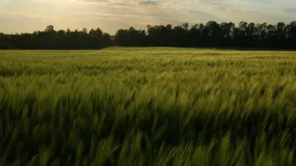 Zöld búza szárak fúj a szél. Természetes Búzamező. Bueutiful természet Búzamező napsütéses napon.