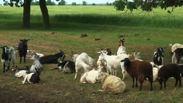Legrační koza na farmě. Stádo koz na přírodní pastviny. Přírody a ekologie
