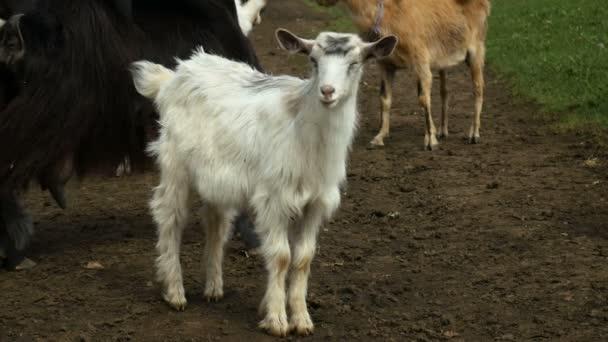 Legrační koza na farmě. Stádo koz na přírodní pastviny. Přírody a ekologie.