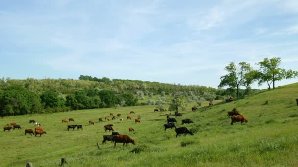 Zavřít pohled stáda pasoucí se krávy. Příroda farma krajina s trávou, krásné květiny a modré mraky.