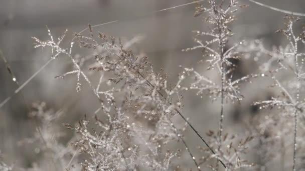 Dew Drops Glistens On Golden Grass In A Field