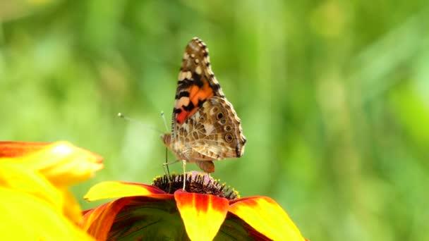 Krásný motýl na žlutém květu v zahradě, letní příroda, barevný záběr .