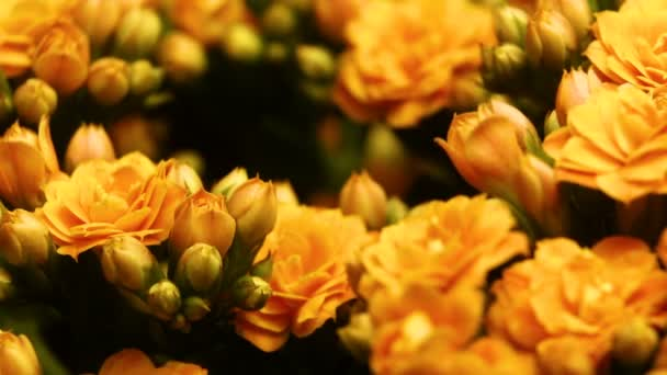 Spring flowers opening. Beautiful Spring flower blossom open timelapse, extreme close up. Blooming backdrop on black 4K