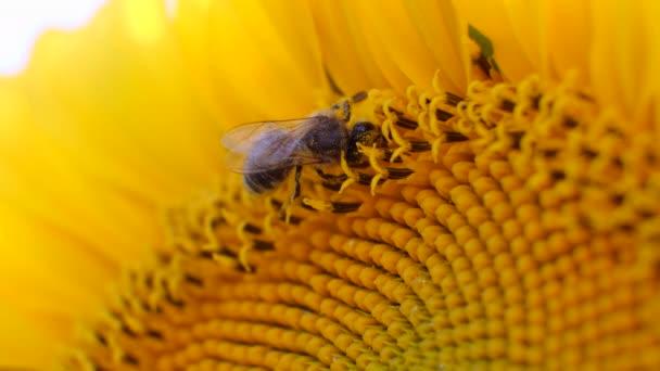 Makro méh méz gyűjtése a napraforgó a területen