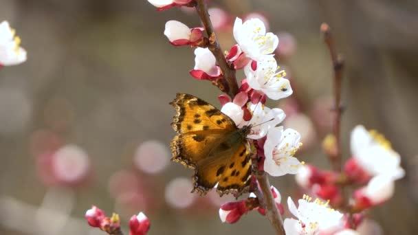 Kvete a kvete s motýlem na třešně růžová květina na ovocný strom. Bílá krásná Sakura květina