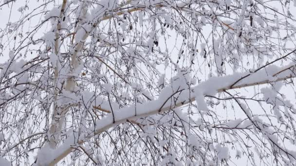 Snow falling on tree branches in Winter christmas season background. Beautiful nature landscape