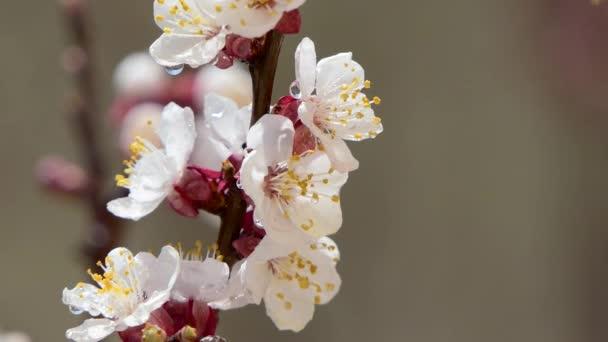 Kvetoucí a rozkvetlý růžový květ na ovocný strom bílá krásná Sakura květina