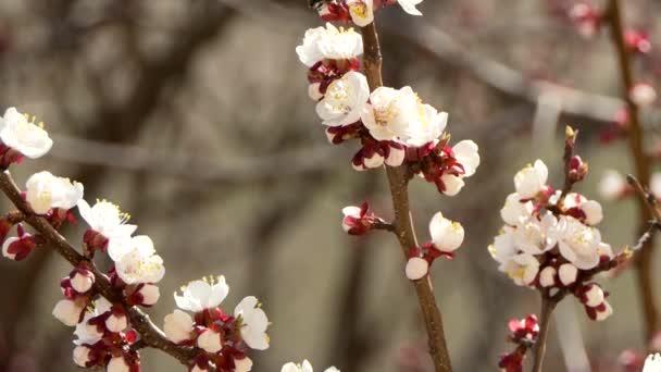 Virágzó és virágzó a cseresznye Pink virág a gyümölcsfa fehér szép Sakura virág
