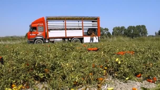 Paradicsom betakarítása nyáron: mezőgazdasági termelő dobozok berakodása teherautóra - Dél-Olaszország