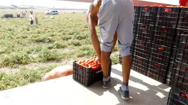 fiatal gazdálkodók paradicsomot rakodnak a teherautóra - Dél-Olaszország