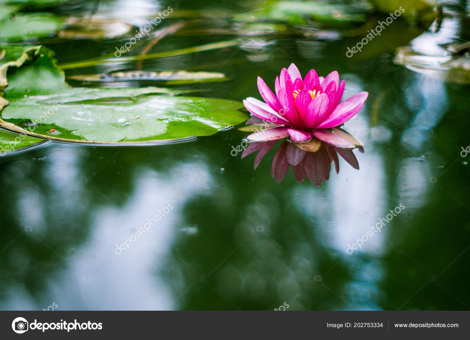 Flower Water Lily Pond Stock Photo Vadikovskiygmail 202753334