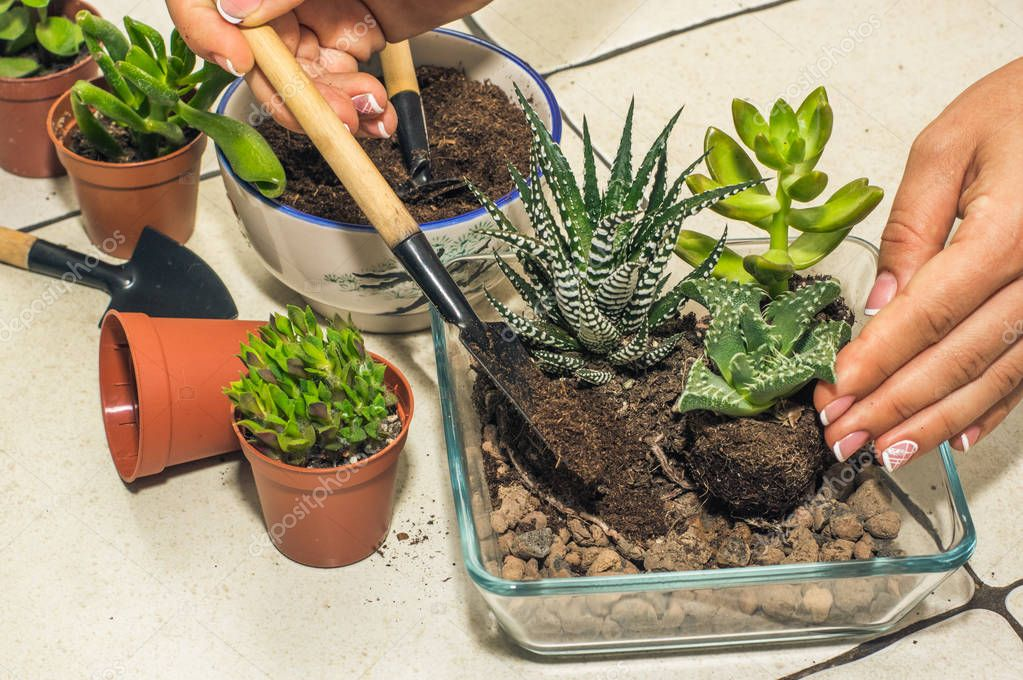 transplantation of room succulents. creation of composition, flo
