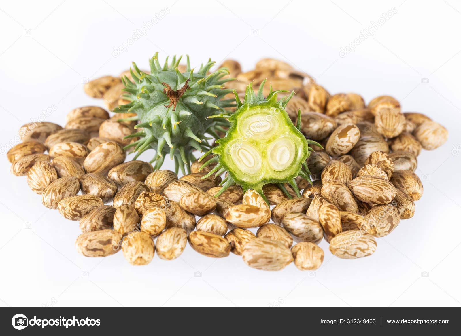 Green Castor Seeds Ricinus Communis Stock Photo C Luisecheverriurrea 312349400