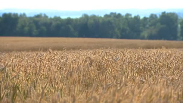agrarian picture of the wheat field of ripe harvest