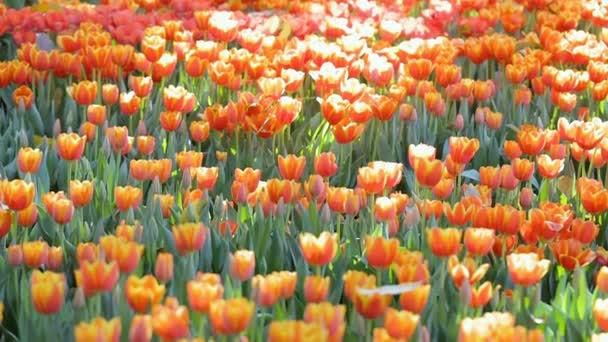Tulip flower with green leaf background in tulip field at winter or spring day for beauty decoration and agriculture concept design.