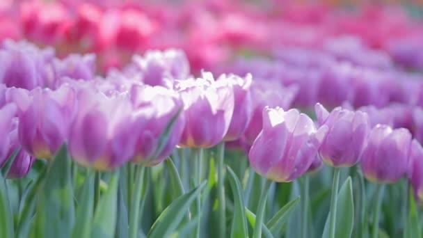 Tulipán virág Zöld levél hátterű, tulipán mező: télen, illetve tavasszal nap szépség dekoráció és a mezőgazdaság koncepcióterv.