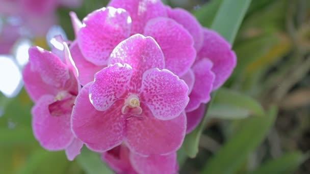 Orchidea virág orchidea kert, a szépség és a mezőgazdaság koncepcióterv télen, illetve tavasszal napján. Vanda orchidea.