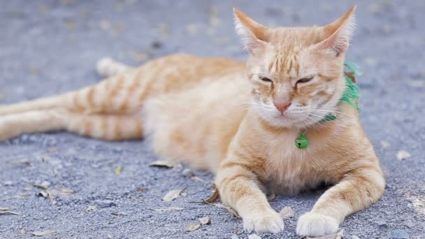 Cute domestic cat lying on grounds. Thai orange and white cat