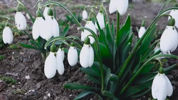 Hóvirág a kertben, az első tavaszi virágok.