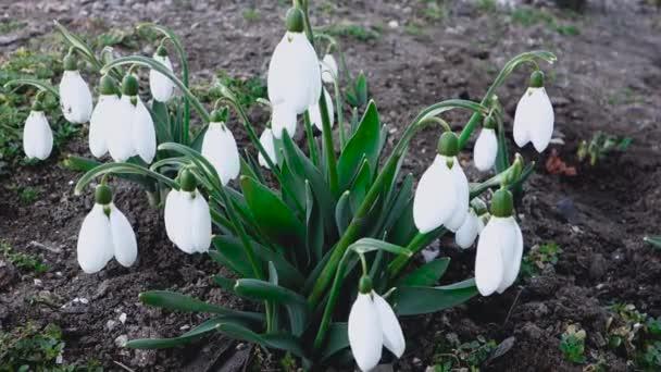 Sněženky v zahradě, první jarní květiny.