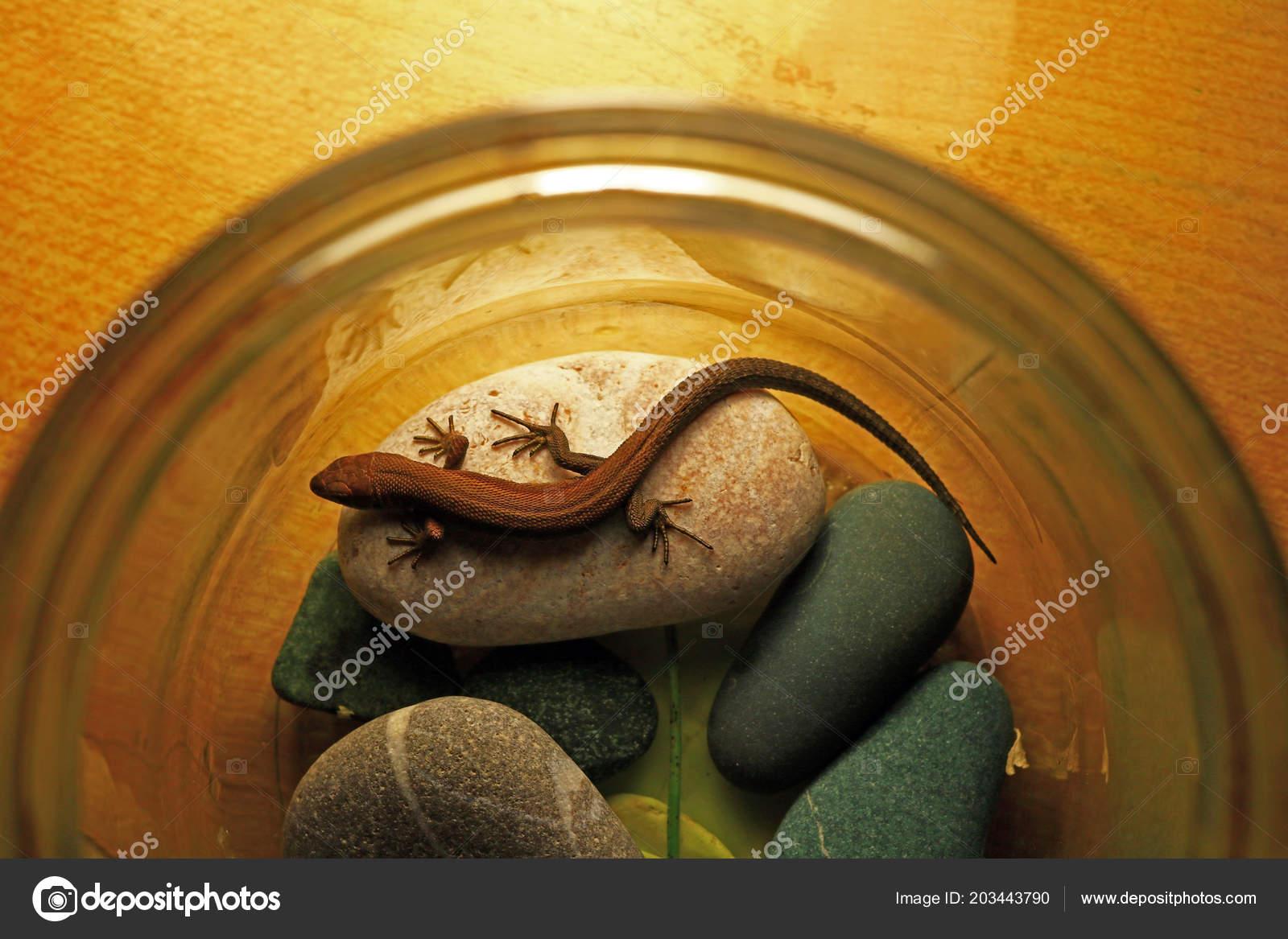 Small Lizard Beautifully Lays Rocks Small Terrarium Warms Stock
