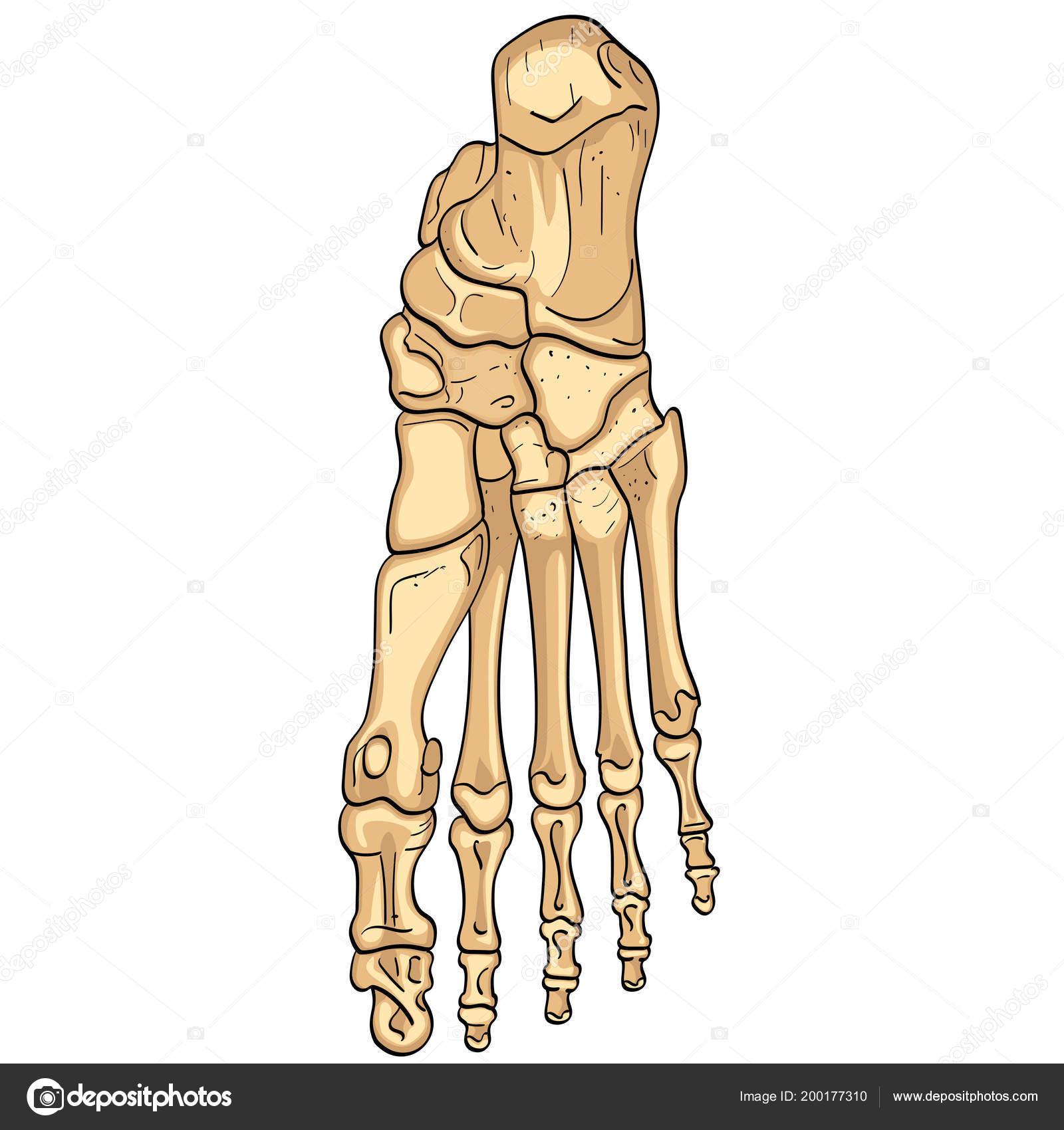 Objeto aislado sobre fondo blanco. Huesos del pie con partes ...