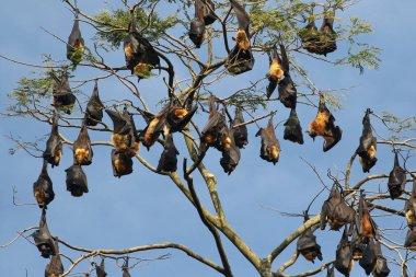 Colony of Indian flying fox bat, Pteropus, giganteus