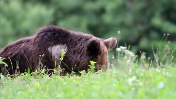 Barna medvét eszik hes természeti környezetben. Európai barna medve