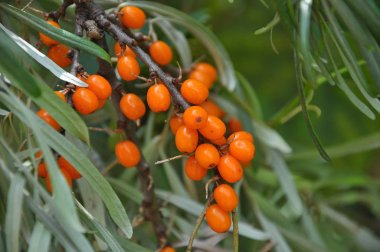 Branch of sea buckthorn with ripe berries