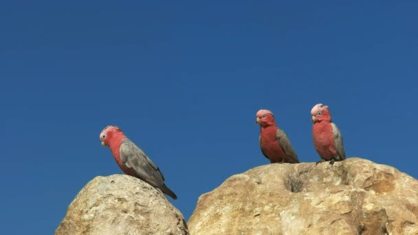 three galahs  standing on a pinnacle, an unusual rock formation in nambung national park, western australia