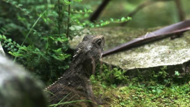 közelről egy őskori keres Új-Zéland tuatara gyík