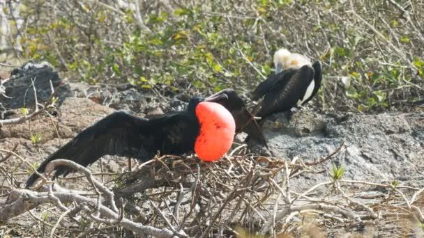 pair of magnificent frigatebirds on isla genovesa in the galapagos islands, ecuador