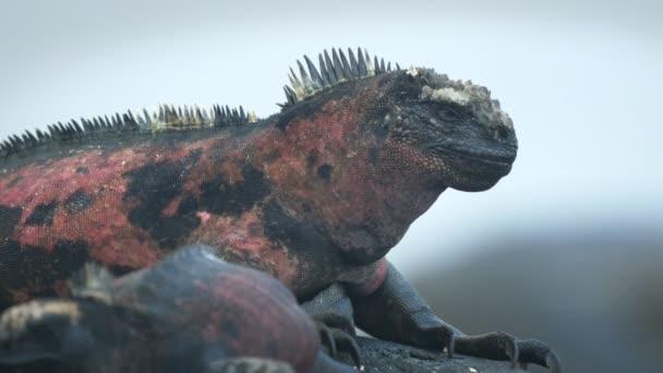 extrémní zblízka Leguán mořský na isla espanola v galapagos islands
