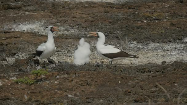 nazca booby parents and chick on isla genovesa in the galalagos islands, ecuador