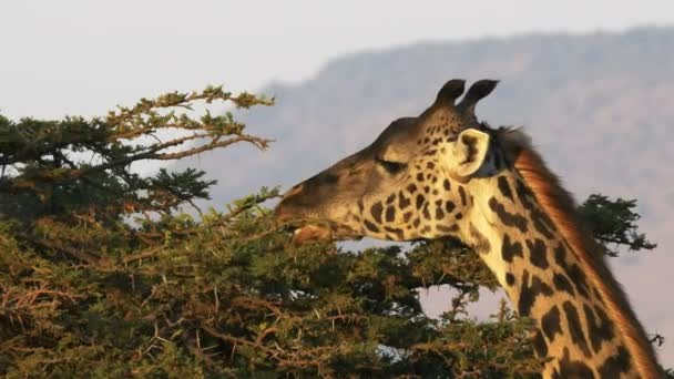 közelről etetés zsiráf oloololo Escarpment Masai Mara, Kenya