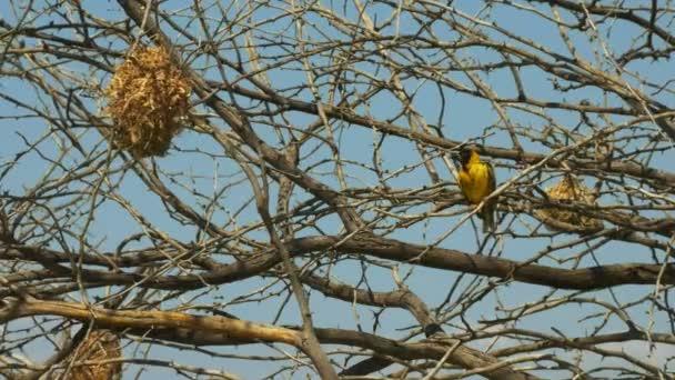 southern masked weaver birds at lake baringo, kenya