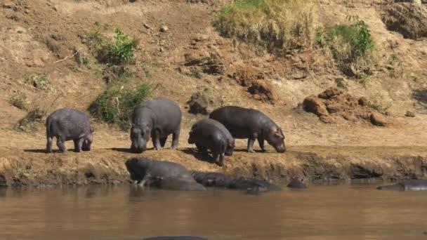 Flusspferdherde am Flussufer in der Masai Mara, Kenia