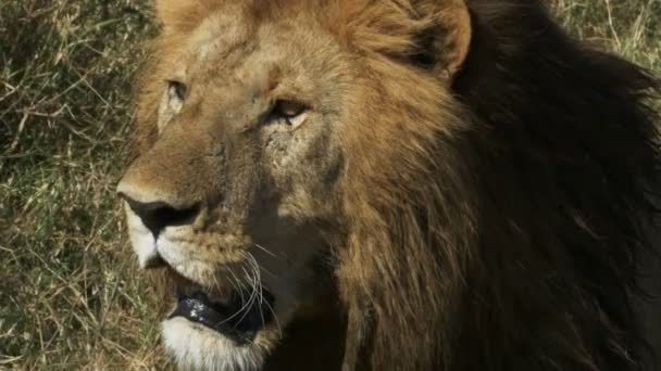 férfi oroszlán extrém közelről a Masai Mara, Kenya