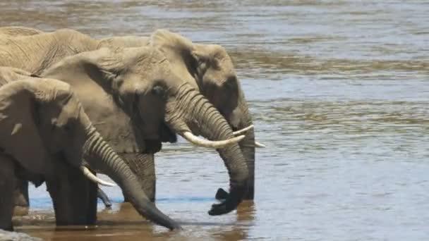 Nahaufnahme afrikanischer Elefanten, die aus dem Mara-Fluss im Masai-Mara-Wildreservat trinken